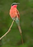 Bee-eater del carmín   Foto de archivo libre de regalías