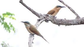 Bee-eater del sud del carminio Immagini Stock Libere da Diritti