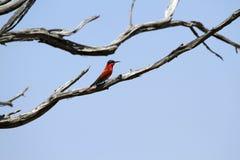 Bee-eater do sul do carmim Fotografia de Stock