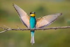 Bee-eater4 dorato Fotografia Stock