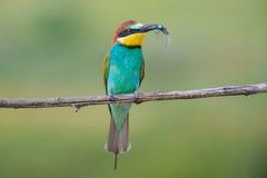 Bee-eater6 dorato Immagini Stock