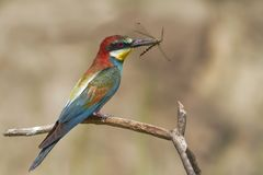 Bee eater with dragonfly Royalty Free Stock Photo