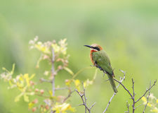 Bee-eater in dry bush Royalty Free Stock Photos