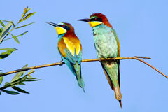 Bee-eater Royalty Free Stock Photography