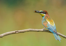 Bee-eater eating an insect Stock Image
