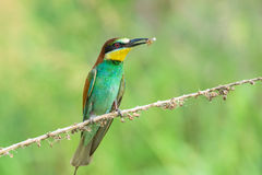 Bee-eater eating an insect Royalty Free Stock Photos