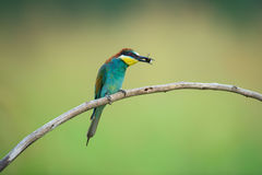 Bee-eater eating an insect Royalty Free Stock Photography