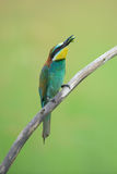 Bee-eater eating an insect Stock Photos