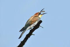 Bee-eater en el momento de coger una avispa Foto de archivo