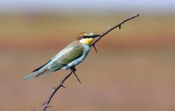 Bee-eater en la ramificación Fotografía de archivo