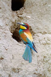 Bee-eater at the entrance of its nest Stock Photos