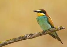 Bee-eater européen images stock