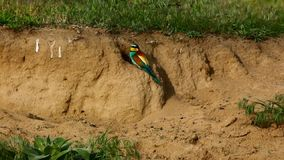 Bee-eater européen, apiaster de Merops banque de vidéos