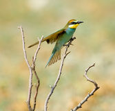 Bee-eater européen (Merops Apiaster) Photographie stock libre de droits
