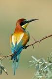 Bee-eater européen (Merops Apiaster) Photo stock