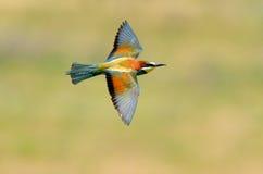 Bee-eater européen (Merops Apiaster) extérieur photographie stock