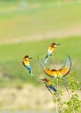 Bee-eater europeo Fotos de archivo