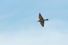 Bee-eater europeo, apiaster del Merops Fotografía de archivo libre de regalías