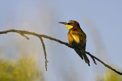 Bee-eater europeo (apiaster del Merops) Foto de archivo libre de regalías