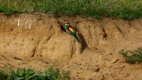 Bee-eater europeo, apiaster del Merops almacen de metraje de vídeo