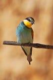 Bee-eater europeo en una ramificación Fotos de archivo libres de regalías