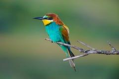 Bee-eater europeo en una ramificación Imagenes de archivo