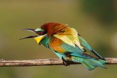 Bee-eater europeo en una ramificación Imágenes de archivo libres de regalías