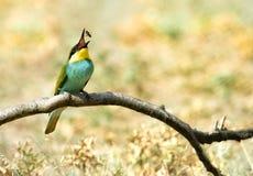 Bee-eater europeo (Merops Apiaster) immagine stock