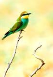 bee-eater europeo (Merops Apiaster) Fotos de archivo