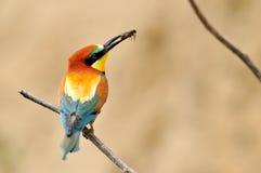 Bee-eater europeo (Merops Apiaster) Imágenes de archivo libres de regalías