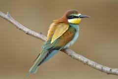 Bee-eater europeo (Merops Apiaster) Fotografía de archivo libre de regalías