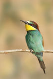 Bee-eater europeo (Merops Apiaster) Fotografia Stock Libera da Diritti