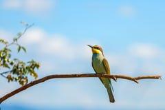 Bee-eater europeo (Merops Apiaster) Imagen de archivo libre de regalías