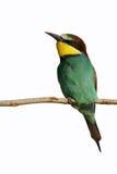 Bee-eater europeo (Merops Apiaster) Imagenes de archivo