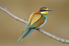 Bee-eater europeo (Merops Apiaster) Foto de archivo libre de regalías