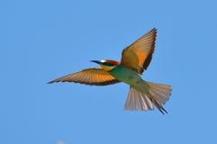 Bee-eater europeo (Merops Apiaster) al aire libre Fotografía de archivo libre de regalías