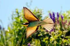Bee-eater europeo (Merops Apiaster) al aire libre Fotos de archivo