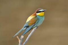Bee-eater europeo (Merops Apiaster) al aire libre Foto de archivo libre de regalías