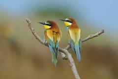 Bee-eater europeo (Merops Apiaster) al aire libre Imagen de archivo libre de regalías