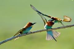 Bee-eater europeo (Merops Apiaster) al aire libre Foto de archivo