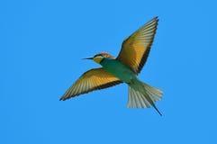 Bee-eater europeo (Merops Apiaster) al aire libre Imagenes de archivo