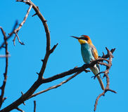 Bee-eater europeo que parece derecho Fotos de archivo