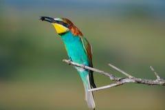 Bee-eater europeo su una filiale Immagini Stock Libere da Diritti