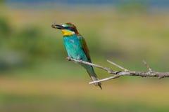 Bee-eater europeo su una filiale Fotografia Stock Libera da Diritti