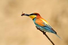 Bee-eater europeu (Merops Apiaster) Fotos de Stock Royalty Free