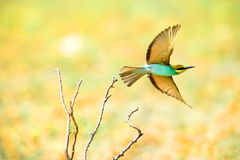 Bee-eater europeu (Merops Apiaster) Foto de Stock