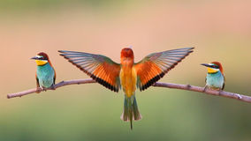 Bee-eater europeu (Merops Apiaster) Imagens de Stock