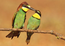 Bee-eater fattening. With blurred background stock images