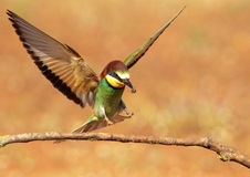 Bee-eater in flight Stock Images