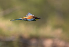 Bee Eater in flight Stock Image